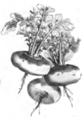 Navet jaune de Malte Vilmorin-Andrieux 1883.png