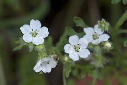 Nemophila heterophylla.jpg