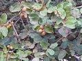 Neocarya macrophylla 0008.jpg