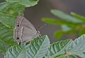 Neozephyrus quercus - Purple Hairstreak, Osmaniye 01-1.jpg