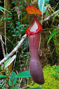 Kantong atas dari Nepenthes edwardsiana