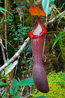 Nepenthes edwardsiana