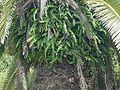 Nephrolepis cordifolia tamasd01.jpg