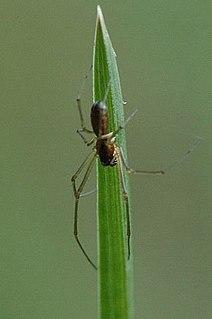 <i>Neriene</i> Genus of spiders