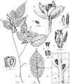 Nesogordonia tricarpellata drawing.jpg