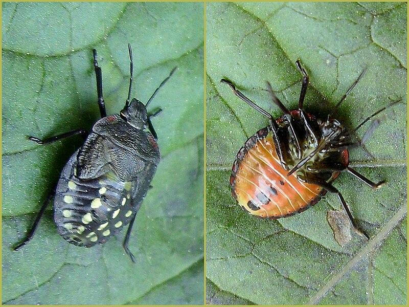 800px nezara viridula instar 4 on - Cimice del pomodoro ...