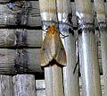 Noctuidae.Arctiidae. Lithosiini.(Neasura Sp.^) - Flickr - gailhampshire.jpg
