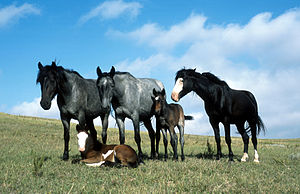 Nokota horse - A small band of Nokota horses, showing several common colors of the breed