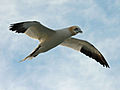Northern Gannet Cape May Ferry RWD.jpg