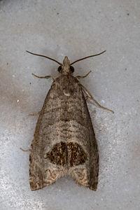 Notocelia uddmanniana, Lodz(Poland)02(js).jpg