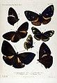 NovaraExpZoologischeTheilLepidopteraAtlasTaf39.jpg