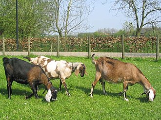 Anglo-Nubian goat - Nubian dairy does