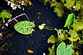 Nuphar lutea native waterlily at Woods Mill, Sussex Wildlife Trust, England 08.jpg