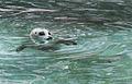 Nyíregyháza Zoo, Zalophus californianus-4.jpg