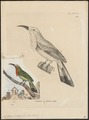 Nyctiornis amictus - 1700-1880 - Print - Iconographia Zoologica - Special Collections University of Amsterdam - UBA01 IZ16800287.tif