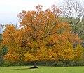 Oak in Stretton Grandison Park - geograph.org.uk - 1056398.jpg