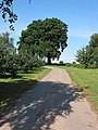 Oak tree by the footpath, near Anthony's Cross - geograph.org.uk - 533906.jpg
