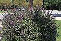 Ocimum African Blue 6zz.jpg