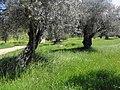 Olive - panoramio.jpg