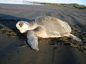 Ridley sea turtle - Female after laying eggs