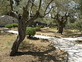 Olive trees in the traditional garden of Gethsemane (6409517489).jpg
