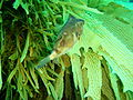 Omegophora cyanopunctata Bluespotted toadfish PC290510.JPG