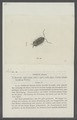 Oniscus minutus - - Print - Iconographia Zoologica - Special Collections University of Amsterdam - UBAINV0274 098 08 0053.tif