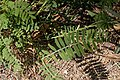 Onobrychis viciifolia-Sainfouin-201606224.jpg