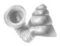 Opisthostoma hosei shell.png