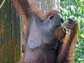 Orang Utan (Pongo pygmaeus) male (8066231073).jpg