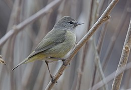Orange-crowned Warbler (32694264742).jpg