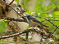 Orange-flanked Bush Robin (Tarsiger cyanurus) (27750230835).jpg