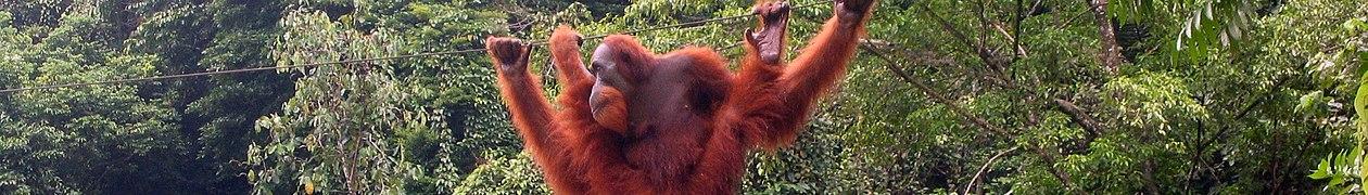 Orangutan Bukit Lawang Sumatra banner.jpg