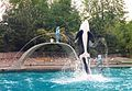 Orca (Killer Whale) performance at Vancouver Aquarium (1981-May-17).jpg