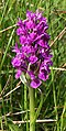 Orchid - geograph.org.uk - 474149.jpg