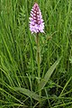 Orchid in meadow by Rye Street - geograph.org.uk - 821746.jpg
