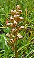 Orchidee Coeloglossum viride w.jpg