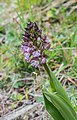 Orchis purpurea in Aveyron (11).jpg