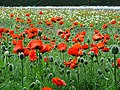 Oriental Poppies at Farm Tomita - Nakafurano - Hokkaido - Japan - 02 (48006031856).jpg