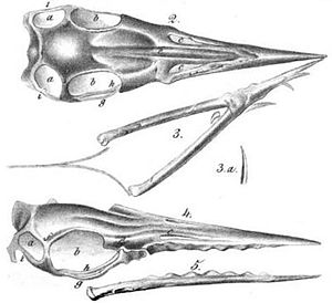 Timeline of pterosaur research - Illustration of the holotype skull of Rhamphorhynchus.