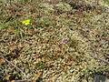 Orobanche uniflora habitat.jpg