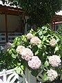 Ortanca çiçeği (hydrangea flowers) - Ayvalık - panoramio.jpg