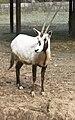 Oryx leucoryx Dvur zoo 2.jpg