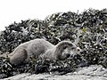Otter at Calgary Bay (31108015687).jpg