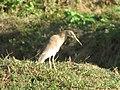 Otvane Wildlife Animal 06.JPG