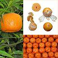 Owoce Mandarynka.jpg
