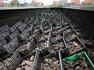 Yerseke - Oysters are kept in large oyster pits after harvesting, until they are sold. Seawater is pumped in and out, simulating the tide.