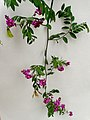 P7244840 Securidaca pubescens (Polygalaceae)2.jpg