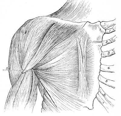 PSM V25 D748 Rectus sternalis and the great pectoral chest muscle.jpg