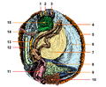 PSM V82 D540 Green abalone dissected tags added.png